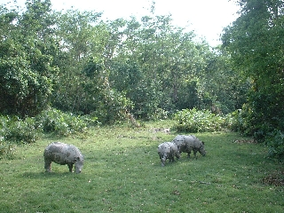 One-horned rhinos at Chitwan