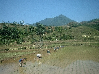 People working in the paddy fields